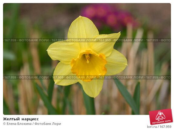 Желтый  нарцисс, фото № 167959, снято 27 апреля 2007 г. (c) Елена Блохина / Фотобанк Лори
