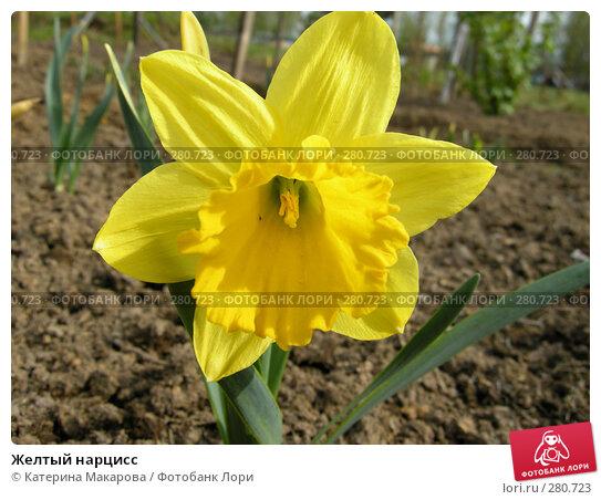Желтый нарцисс, фото № 280723, снято 10 мая 2008 г. (c) Катерина Макарова / Фотобанк Лори
