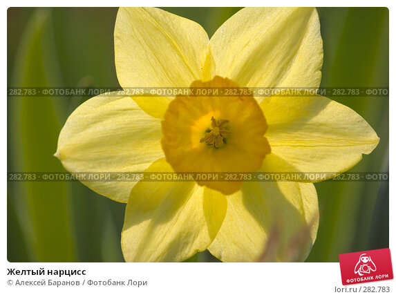 Желтый нарцисс, фото № 282783, снято 10 мая 2008 г. (c) Алексей Баранов / Фотобанк Лори