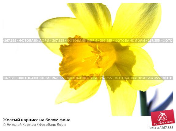 Желтый нарцисс на белом фоне, фото № 267355, снято 29 марта 2008 г. (c) Николай Коржов / Фотобанк Лори