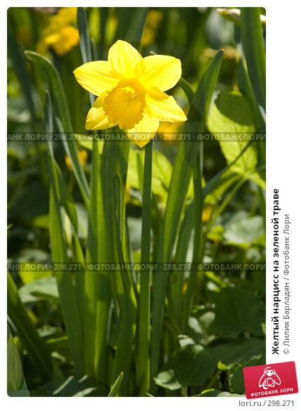 Желтый нарцисс на зеленой траве, фото № 298271, снято 24 апреля 2008 г. (c) Лилия Барладян / Фотобанк Лори