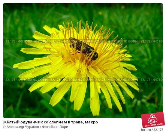 Жёлтый одуванчик со слепнем в траве, макро, фото № 82175, снято 4 июня 2006 г. (c) Александр Чураков / Фотобанк Лори