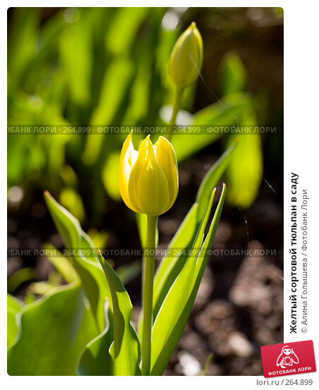 Желтый сортовой тюльпан в саду, эксклюзивное фото № 264899, снято 27 апреля 2008 г. (c) Алина Голышева / Фотобанк Лори