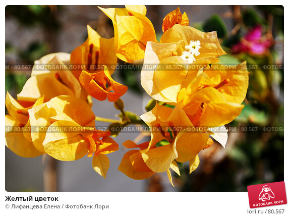Желтый цветок, фото № 80567, снято 19 августа 2007 г. (c) Лифанцева Елена / Фотобанк Лори