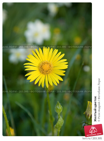 Купить «Желтый цветок», фото № 203395, снято 19 мая 2007 г. (c) Розе Андрей / Фотобанк Лори