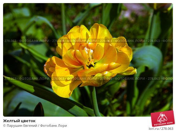 Желтый цветок, фото № 278063, снято 28 мая 2017 г. (c) Парушин Евгений / Фотобанк Лори
