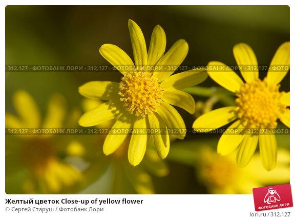 Желтый цветок Close-up of yellow flower, фото № 312127, снято 4 июня 2008 г. (c) Сергей Старуш / Фотобанк Лори
