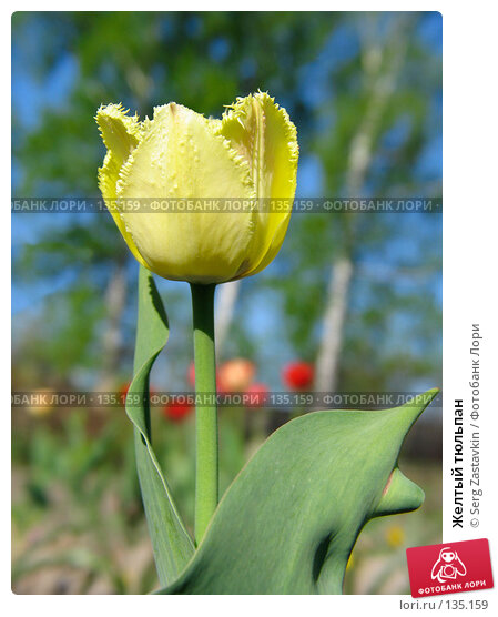 Купить «Желтый тюльпан», фото № 135159, снято 20 мая 2005 г. (c) Serg Zastavkin / Фотобанк Лори