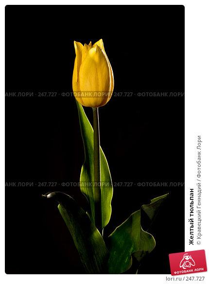 Желтый тюльпан, фото № 247727, снято 10 мая 2005 г. (c) Кравецкий Геннадий / Фотобанк Лори