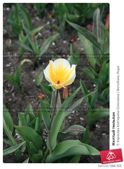 Желтый тюльпан, фото № 266163, снято 27 апреля 2008 г. (c) Карасева Екатерина Олеговна / Фотобанк Лори
