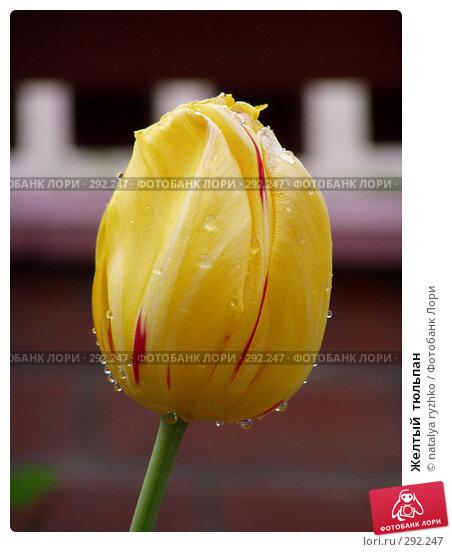 Желтый  тюльпан, фото № 292247, снято 24 октября 2016 г. (c) natalya ryzhko / Фотобанк Лори