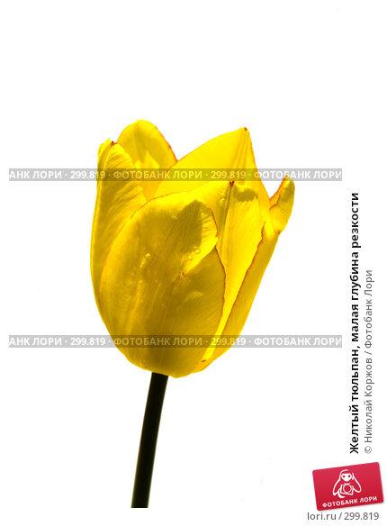 Желтый тюльпан, малая глубина резкости, фото № 299819, снято 17 мая 2008 г. (c) Николай Коржов / Фотобанк Лори