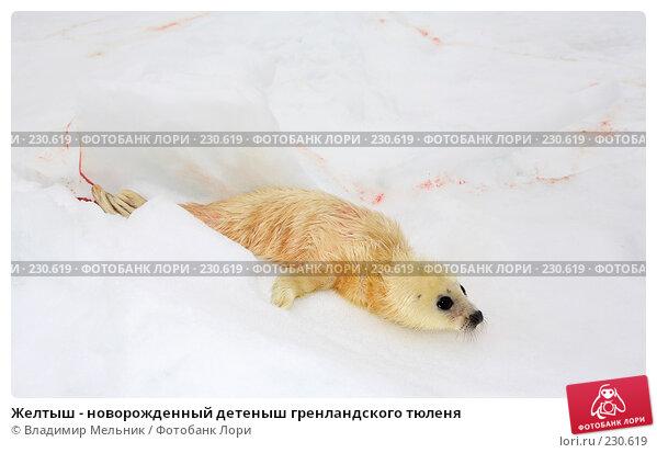 Желтыш - новорожденный детеныш гренландского тюленя, фото № 230619, снято 11 марта 2008 г. (c) Владимир Мельник / Фотобанк Лори