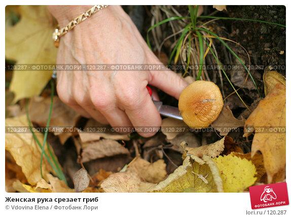 Женская рука срезает гриб, фото № 120287, снято 7 октября 2007 г. (c) Vdovina Elena / Фотобанк Лори
