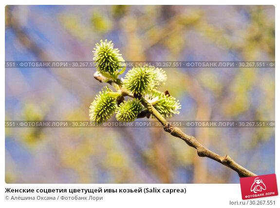 Купить «Женские соцветия цветущей ивы козьей (Salix caprea)», фото № 30267551, снято 12 апреля 2016 г. (c) Алёшина Оксана / Фотобанк Лори