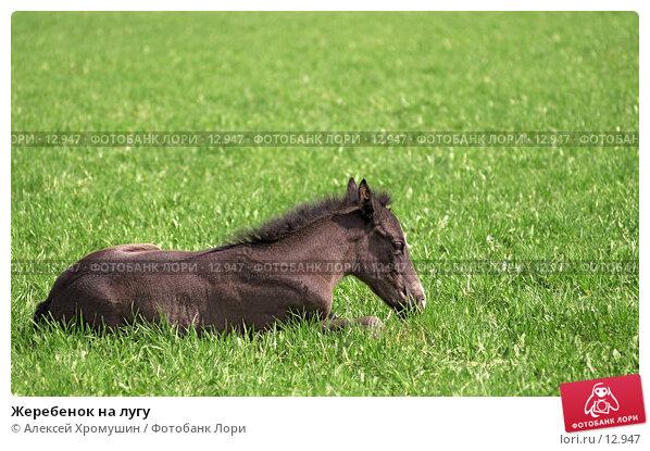 Жеребенок на лугу, фото № 12947, снято 14 мая 2006 г. (c) Алексей Хромушин / Фотобанк Лори