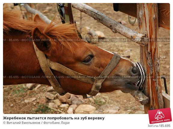 Жеребенок пытается попробовать на зуб веревку, фото № 85695, снято 8 сентября 2007 г. (c) Виталий Емельянов / Фотобанк Лори