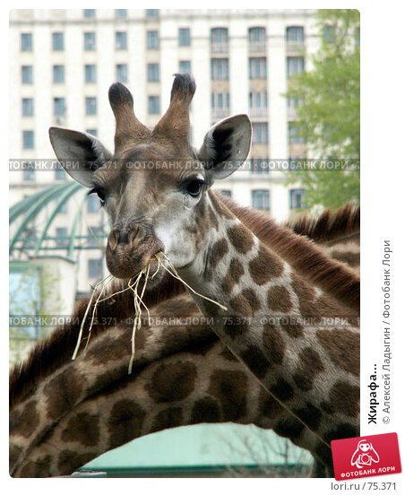 Жирафа..., фото № 75371, снято 8 мая 2006 г. (c) Алексей Ладыгин / Фотобанк Лори