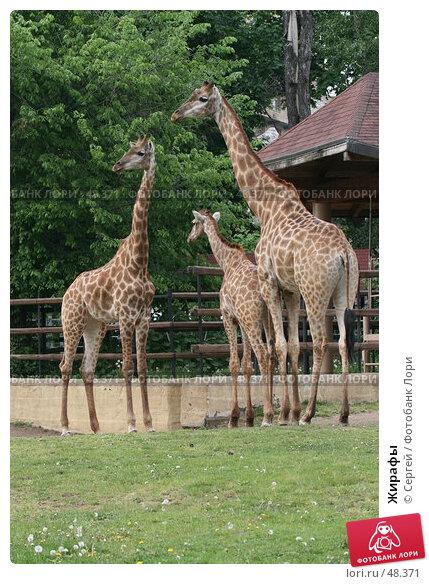 Жирафы, фото № 48371, снято 22 мая 2007 г. (c) Сергей / Фотобанк Лори