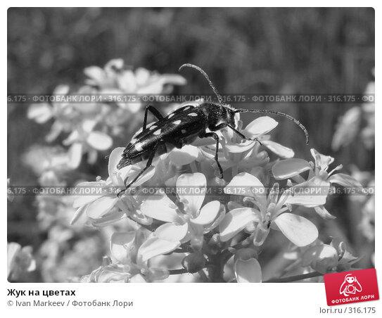 Купить «Жук на цветах», фото № 316175, снято 9 июня 2008 г. (c) Ivan Markeev / Фотобанк Лори