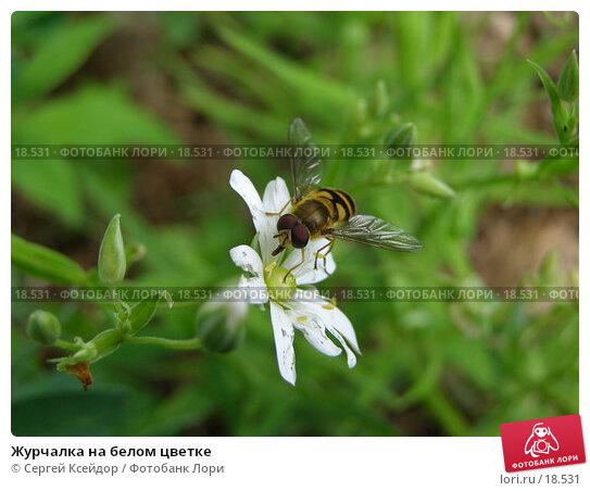 Купить «Журчалка на белом цветке», фото № 18531, снято 24 мая 2006 г. (c) Сергей Ксейдор / Фотобанк Лори