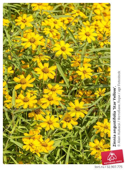Zinnia angustifolia 'Star Yellow'. Стоковое фото, фотограф Alain Kubacsi / age Fotostock / Фотобанк Лори