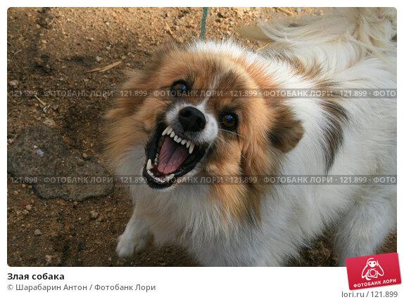 Злая собака, фото № 121899, снято 14 сентября 2007 г. (c) Шарабарин Антон / Фотобанк Лори