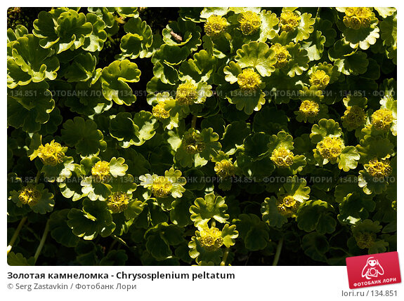 Золотая камнеломка - Chrysosplenium peltatum, фото № 134851, снято 14 августа 2006 г. (c) Serg Zastavkin / Фотобанк Лори