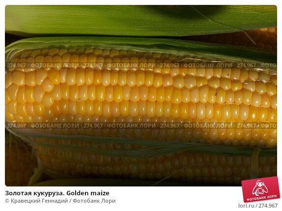 Золотая кукуруза. Golden maize, фото № 274967, снято 29 августа 2004 г. (c) Кравецкий Геннадий / Фотобанк Лори