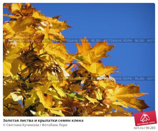 Золотая листва и крылатки семян клена, фото № 90283, снято 28 февраля 2017 г. (c) Светлана Кучинская / Фотобанк Лори