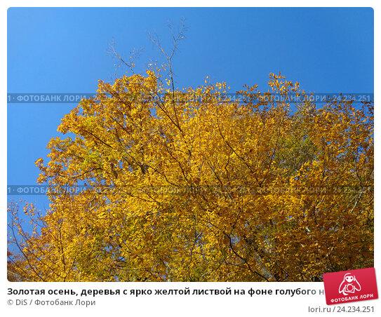 Купить «Золотая осень, деревья с ярко желтой листвой на фоне голубого неба», фото № 24234251, снято 8 ноября 2016 г. (c) DiS / Фотобанк Лори