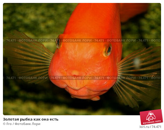 Золотая рыбка как она есть, фото № 74471, снято 22 августа 2007 г. (c) Fro / Фотобанк Лори