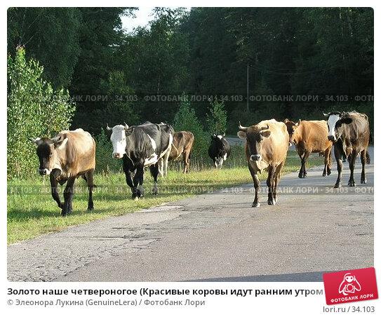 Золото наше четвероногое (Красивые коровы идут ранним утром по шоссе на пастбище), фото № 34103, снято 23 августа 2017 г. (c) Элеонора Лукина (GenuineLera) / Фотобанк Лори