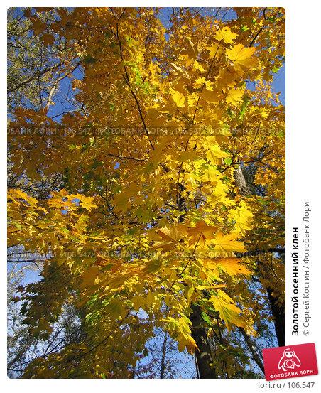 Купить «Золотой осенний клен», фото № 106547, снято 2 октября 2005 г. (c) Сергей Костин / Фотобанк Лори