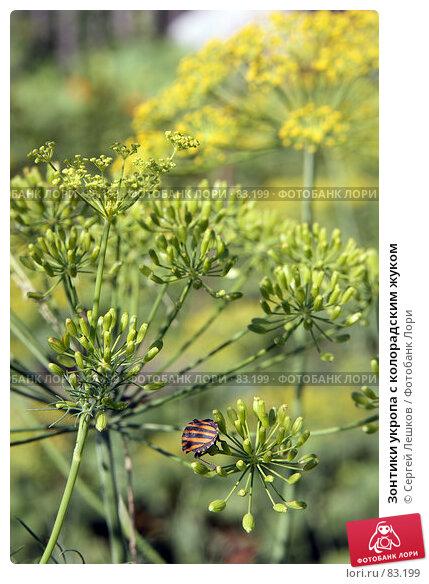 Зонтики укропа с колорадским жуком, фото № 83199, снято 22 июля 2007 г. (c) Сергей Лешков / Фотобанк Лори