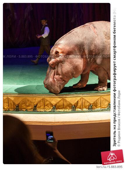 Купить «Зритель на представлении фотографирует смартфоном бегемота (Hippopotamus amphibious)», эксклюзивное фото № 5883895, снято 1 мая 2014 г. (c) Родион Власов / Фотобанк Лори