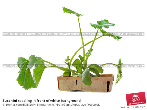 Zucchini seedling in front of white background. Стоковое фото, фотограф Zoonar.com/BONZAMI Emmanuelle / age Fotostock / Фотобанк Лори