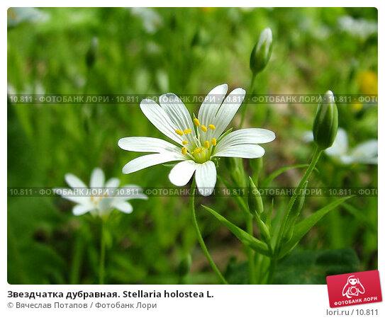 Купить «Звездчатка дубравная. Stellaria holostea L.», фото № 10811, снято 16 мая 2004 г. (c) Вячеслав Потапов / Фотобанк Лори