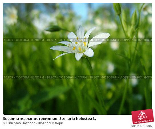 Звездчатка ланцетовидная. Stellaria holostea L., фото № 10807, снято 14 мая 2004 г. (c) Вячеслав Потапов / Фотобанк Лори